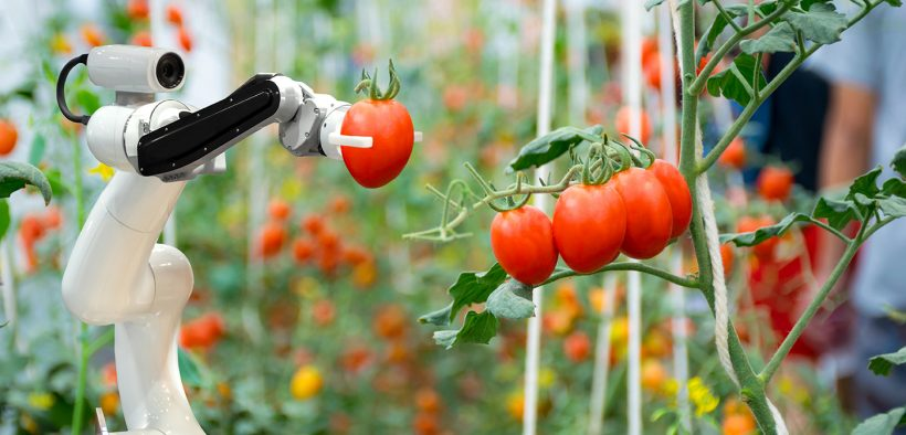 Robot picking tomatoes in a greenhouse