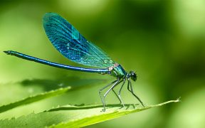A dragonfly on a leaf with a circuitboard pattern on its wings.